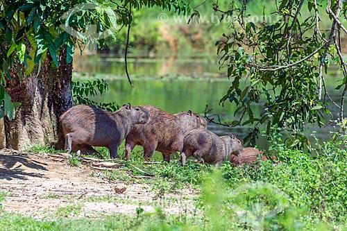 Bando de capivaras (Hydrochoerus hydrochaeris) na Reserva Ecológica de Guapiaçu  - Cachoeiras de Macacu - Rio de Janeiro (RJ) - Brasil