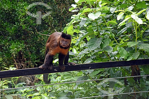 Macaco-prego (Sapajus nigritus) no mirante do Centro de Visitantes Paineiras - antigo Hotel Paineiras  - Rio de Janeiro - Rio de Janeiro (RJ) - Brasil