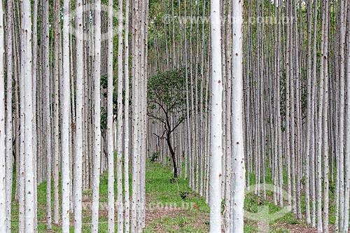 Vista de árvore típica do cerrado em meio à plantação de eucalipto próximo à cidade de Mossâmedes  - Mossâmedes - Goiás (GO) - Brasil