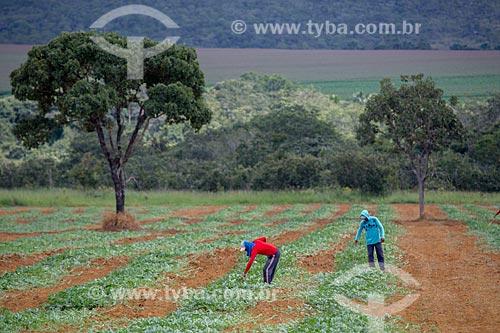 Plantação de melancia (Citrullus lanatus) próximo à cidade de Mossâmedes  - Mossâmedes - Goiás (GO) - Brasil
