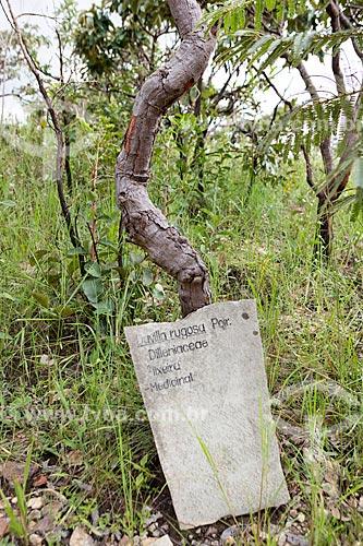 Detalhe de cipó-caboclo (Davilla rugosa) - conhecida por suas propriedades medicinais - na Reserva Ecológica Vargem Grande  - Pirenópolis - Goiás (GO) - Brasil