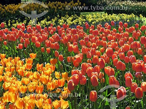 Tulipas no jardim do Parque Keukenhof - também conhecido como Jardim da Europa  - Lisse - Holanda do Norte - Holanda