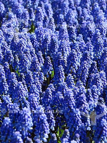 Flores no jardim do Parque Keukenhof - também conhecido como Jardim da Europa  - Lisse - Holanda do Norte - Holanda