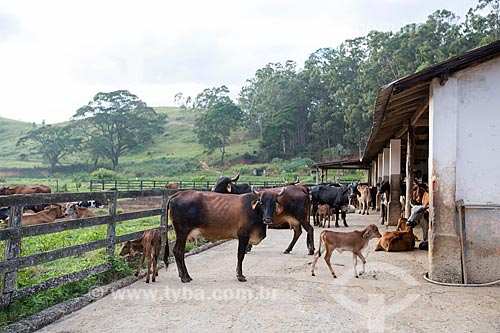 Gados em curral da fazenda São Geraldo  - Paraíba do Sul - Rio de Janeiro (RJ) - Brasil