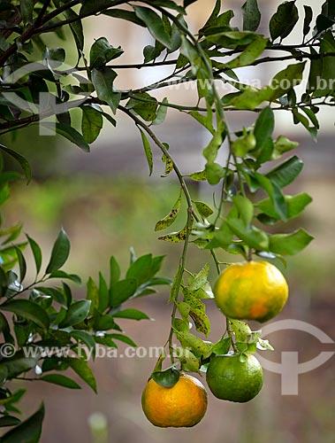 Detalhe de tangerina (Citrus reticulata) - também conhecida como bergamota, vergamota ou mexerica - ainda na tangerineira  - Guarani - Minas Gerais (MG) - Brasil