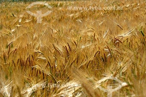 Plantação de trigo na zona rural da cidade de Cusco  - Cusco - Departamento de Cusco - Peru