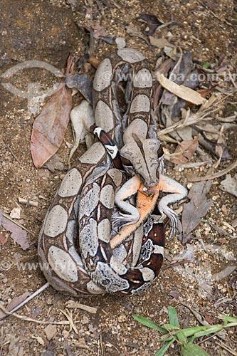 Detalhe de jiboia-constritora (Boa constrictor) comendo um lagarto no Parque Nacional da Tijuca  - Rio de Janeiro - Rio de Janeiro (RJ) - Brasil