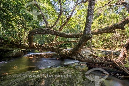 Árvore caída na Cachoeira do Rio Grande no Saco do Mamanguá  - Paraty - Rio de Janeiro (RJ) - Brasil