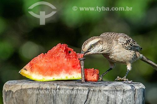 Detalhe de sabiá-do-campo (Mimus saturninus) comendo melancia na Chapada dos Veadeiros  - Alto Paraíso de Goiás - Goiás (GO) - Brasil