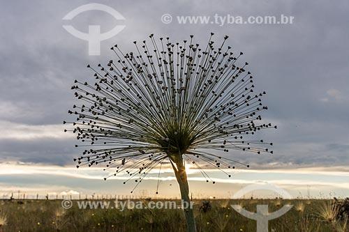 Detalhe de Sempre Viva (Paepalanthus Sp.) - também conhecido como Chuveirinho - na Chapada dos Veadeiros durante o pôr do sol  - Alto Paraíso de Goiás - Goiás (GO) - Brasil