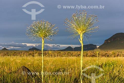 Detalhe de Sempre Viva (Paepalanthus Sp.) - também conhecido como Chuveirinho - na Chapada dos Veadeiros  - Alto Paraíso de Goiás - Goiás (GO) - Brasil