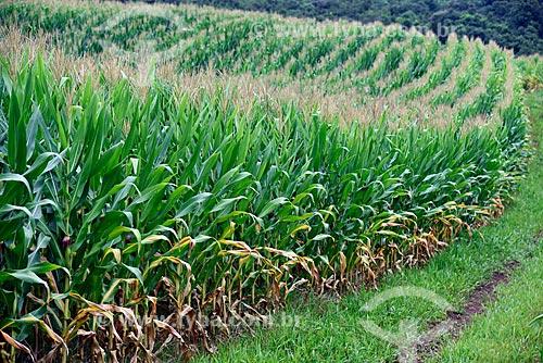 Plantação de milho em propriedade rural as margens da Rodovia RS-235 - sentido Nova Petrópolis  - Gramado - Rio Grande do Sul (RS) - Brasil