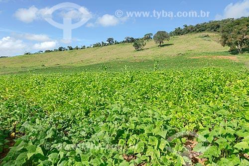 Plantação de feijão na zona rural da cidade de Guarani  - Guarani - Minas Gerais (MG) - Brasil