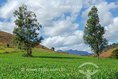 Plantação de milho transgênico na zona rural da cidade de Guarani  - Guarani - Minas Gerais (MG) - Brasil