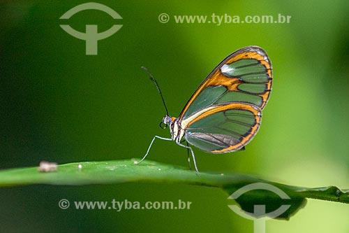 Detalhe de borboleta transparente (Greta Oto) na Reserva Ecológica de Guapiaçu  - Cachoeiras de Macacu - Rio de Janeiro (RJ) - Brasil