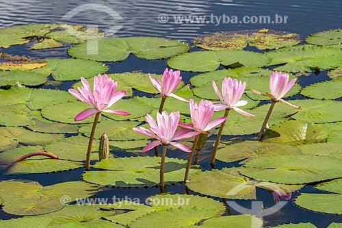 Detalhe de flores de vitória-régia (Victoria amazonica) na Reserva Ecológica de Guapiaçu  - Cachoeiras de Macacu - Rio de Janeiro (RJ) - Brasil