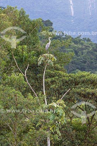 Garça-moura (Ardea cocoi) na Reserva Ecológica de Guapiaçu  - Cachoeiras de Macacu - Rio de Janeiro (RJ) - Brasil