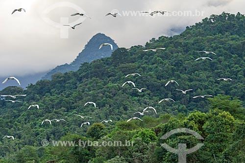 Vista de bando de garça-branca-pequena (Egretta thula) na Reserva Ecológica de Guapiaçu  - Cachoeiras de Macacu - Rio de Janeiro (RJ) - Brasil