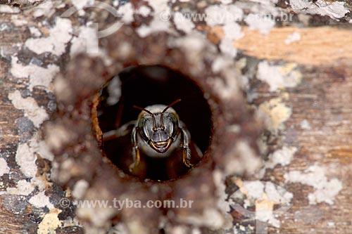 Detalhe de abelha tiúba (Melipona compressipes) - também conhecida com uruçu-cinzenta - em entrada de colméia  - Teresina - Piauí (PI) - Brasil