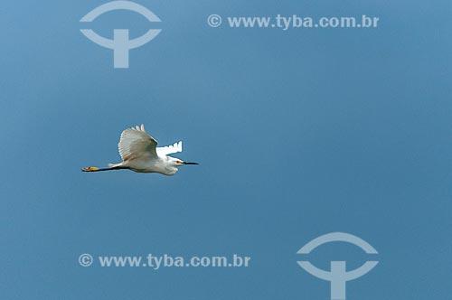 Detalhe de garça-branca-pequena (Egretta thula) - também conhecida como garça-pequena ou garcinha - voando  - Paraná (PR) - Brasil