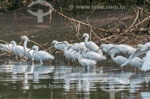 Bando de garça-branca-pequena (Egretta thula) - também conhecida como garça-pequena ou garcinha  - Paraná (PR) - Brasil