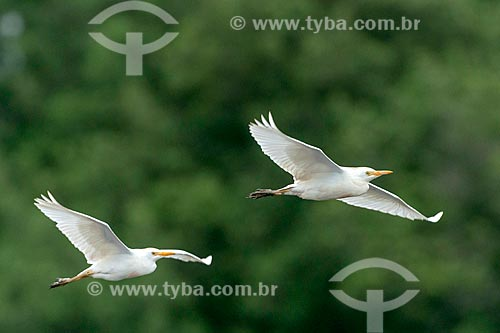 Detalhe de garça-vaqueira (Bubulcus ibis) voando  - Paraná (PR) - Brasil
