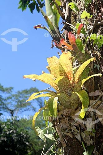 Detalhe de bromélia em tronco de árvore no Parque Nacional da Tijuca  - Rio de Janeiro - Rio de Janeiro (RJ) - Brasil