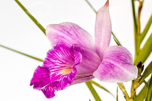 Detail of orquídea-bambu (Arundina graminifolia)  - Florianópolis - Santa Catarina (SC) - Brasil