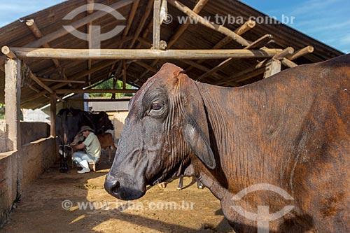 Detalhe de gado leiteiro com trabalhador rural ordenhando vaca ao fundo na zona rural da cidade de Guarani  - Guarani - Minas Gerais (MG) - Brasil