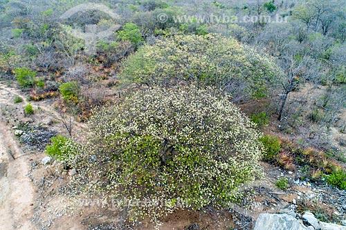 Foto feita com drone de umbuzeiro (Spondias tuberosa L.) florido  - Custódia - Pernambuco (PE) - Brasil