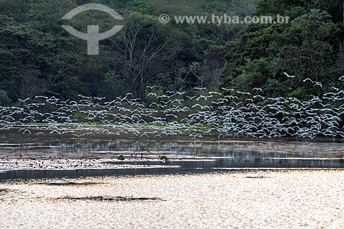 Vista geral de lago na Reserva Ecológica de Guapiaçu com bando de garça-branca-pequena (Egretta thula)  - Cachoeiras de Macacu - Rio de Janeiro (RJ) - Brasil