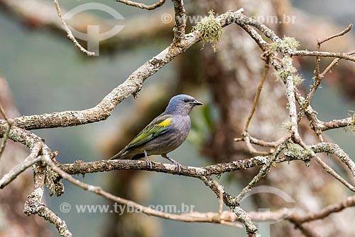 Detalhe de sanhaço-de-encontro-amarelo (Thraupis ornata) no Parque Nacional de Itatiaia  - Itatiaia - Rio de Janeiro (RJ) - Brasil
