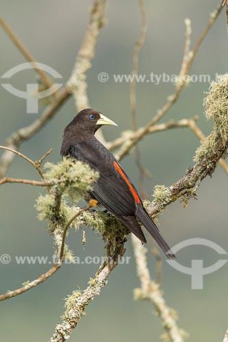 Detalhe de guaxe (Cacicus haemorrhous) no Parque Nacional de Itatiaia  - Itatiaia - Rio de Janeiro (RJ) - Brasil