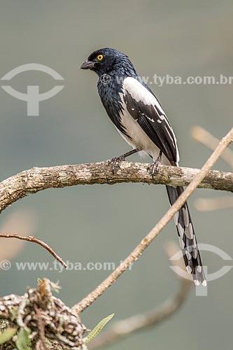 Detalhe de tietinga (Cissopis leveriana) no Parque Nacional de Itatiaia  - Itatiaia - Rio de Janeiro (RJ) - Brasil