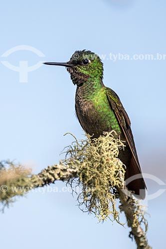 Detalhe de colibri no Parque Nacional de Itatiaia  - Itatiaia - Rio de Janeiro (RJ) - Brasil