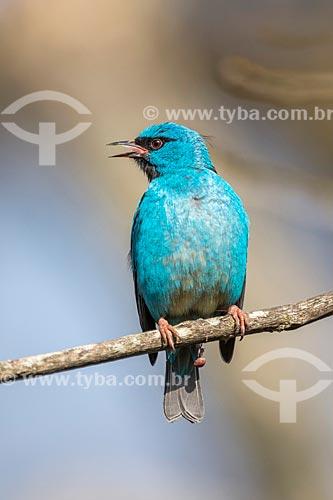 Detalhe de saí-azul (Dacnis cayana) - também conhecido como Saí-bicudo - no Parque Nacional de Itatiaia  - Itatiaia - Rio de Janeiro (RJ) - Brasil