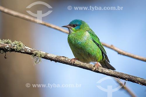 Detalhe de saí-azul (Dacnis cayana) fêmea - também conhecido como Saí-bicudo - no Parque Nacional de Itatiaia  - Itatiaia - Rio de Janeiro (RJ) - Brasil