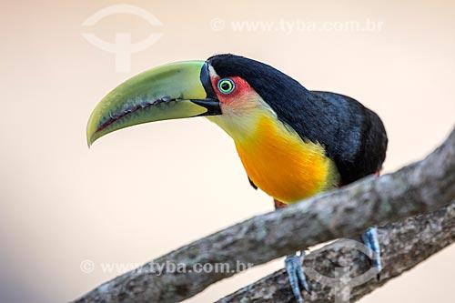 Detalhe de tucano-de-bico-verde (Ramphastos dicolorus) no Parque Nacional de Itatiaia  - Itatiaia - Rio de Janeiro (RJ) - Brasil