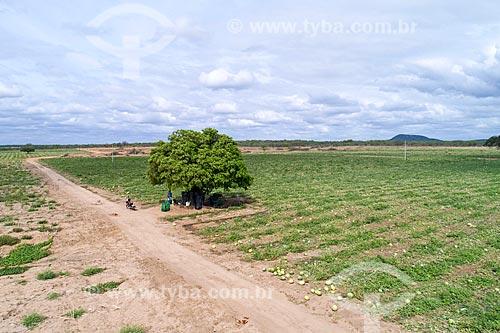 Foto feita com drone de plantação de Melancia (Citrullus lanatus) irrigada com água captada do Rio São Francisco  - Cabrobó - Pernambuco (PE) - Brasil