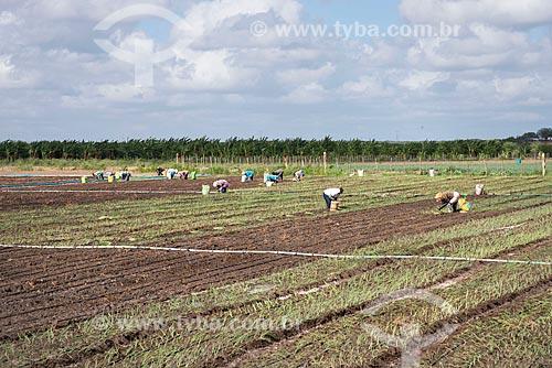 Trabalhadores rurais em plantação de cebola irrigada com água captada do Rio São Francisco  - Cabrobó - Pernambuco (PE) - Brasil