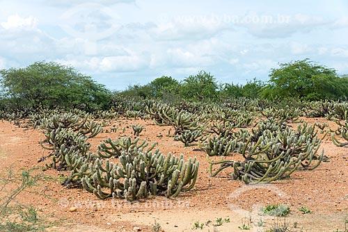 Vista de cactos - vegetação típica do caatinga  - Cabrobó - Pernambuco (PE) - Brasil