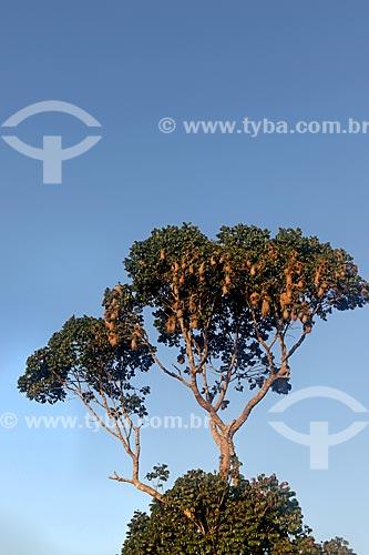 Ninhos de tecelão (Cacicus chrysopterus) no Parque Nacional de Anavilhanas  - Novo Airão - Amazonas (AM) - Brasil