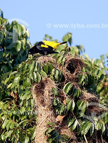 Detalhe de ninhos de tecelão (Cacicus chrysopterus) no Parque Nacional de Anavilhanas  - Novo Airão - Amazonas (AM) - Brasil