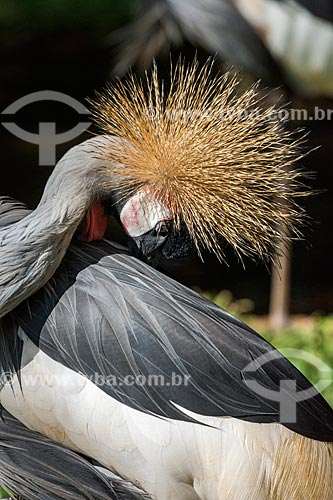 Detalhe de grou-coroado (Balearica pavonina) no Parque das Aves  - Foz do Iguaçu - Paraná (PR) - Brasil
