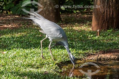 Detalhe de grou-pequeno (Grus virgo) no Parque das Aves  - Foz do Iguaçu - Paraná (PR) - Brasil