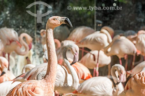Bando de flamingo-chileno (Phoenicopterus chilensis) no Parque das Aves  - Foz do Iguaçu - Paraná (PR) - Brasil