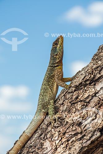 Detalhe de calango (Tropidurus torquatus) no Parque Nacional do Iguaçu  - Puerto Iguazú - Província de Misiones - Argentina