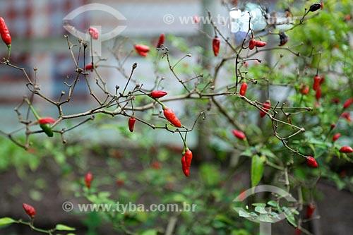 Detalhe de pimenta na horta do Sítio Triunfo  - Maricá - Rio de Janeiro (RJ) - Brasil