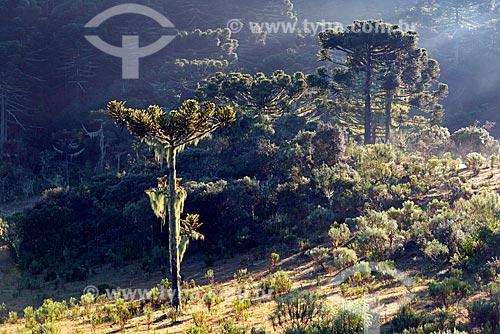 Araucárias (Araucaria angustifolia) com barba de pau (Tillandsia usneoides) - também conhecida como Barba de Velho  - Urupema - Santa Catarina (SC) - Brasil