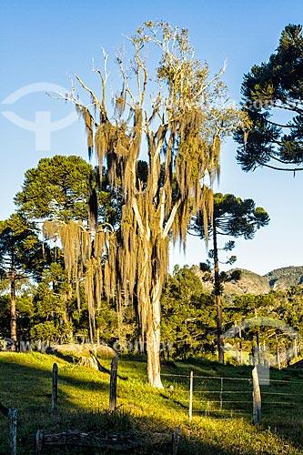 Árvore coberta por barba de pau (Tillandsia usneoides) - também conhecida como Barba de Velho  - Urubici - Santa Catarina (SC) - Brasil